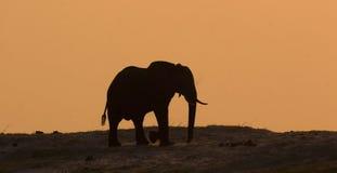 Elephant in Chobe. Elephant Silhouette on Chobe Riverbank in Botswana stock image