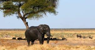 Elephant in Chobe, Botswana, Africa wildlife safari. Majestic wild African Elephant in Savuti, in background herd of wildebeest. Chobe Game reserve. Botswana stock video footage