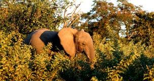 Elephant in Chobe, Botswana, Africa wildlife safari. Majestic wild African Elephant in Chobe Game reserve with sunset colors. Botswana, Africa wildlife safari stock video footage