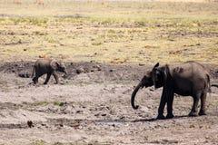 Elephant - Chobe N.P. Botswana, Africa Royalty Free Stock Images