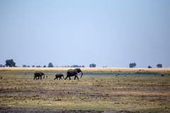 Elephant - Chobe N.P. Botswana, Africa Royalty Free Stock Photo