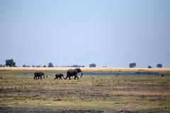 Elephant - Chobe N.P. Botswana, Africa Royalty Free Stock Photo