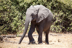 Elephant - Chobe N.P. Botswana, Africa Stock Photo