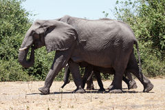 Elephant - Chobe N.P. Botswana, Africa Royalty Free Stock Photos