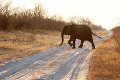 Elephant - Chobe N.P. Botswana, Africa Royalty Free Stock Photography