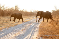 Elephant - Chobe N.P. Botswana, Africa. Elephant in Chobe National Park, Botswana, Africa Stock Photography
