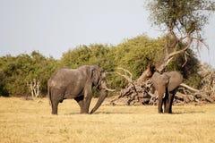 Elephant - Chobe N.P. Botswana, Africa Stock Image