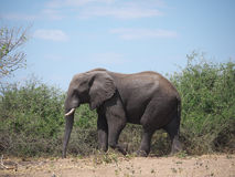Elephant in Chobe National Park. Chobe National Park, Botswana-August 18, 2016:The beautiful Chobe National Park is found in the north of Botswana. It is home to Stock Image