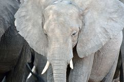 Elephant in Chobe National Park, Botswana Stock Image