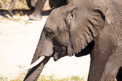 Elephant - Chobe River, Botswana, Africa Royalty Free Stock Images