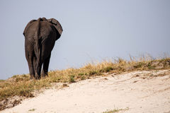 Elephant - Chobe River, Botswana, Africa Royalty Free Stock Photography