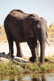 Elephant - Chobe River, Botswana, Africa Stock Photos