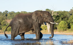 Elephant, Chobe River, Botswana Stock Photos