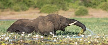 Elephant in the Chobe River, Botswana Royalty Free Stock Images