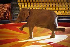 Elephant in circus. Training of an elephant in the circus ring Stock Image