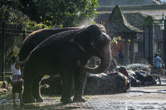 An elephant is cleaned by a mahout within the Temple of the Sacred Tooth Relic prior to the Esala Perahera in Kandy, Sri Lanka. Royalty Free Stock Photo