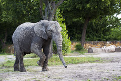Elephant in a clearing Stock Images