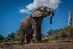 Elephant climbing earth bank beside dead tree Stock Photos