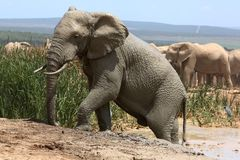 Elephant Climbing out of Mud Bath Stock Photography
