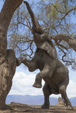 Elephant climbing up tree Stock Images