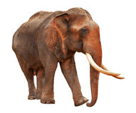 Elephant with clipping path Royalty Free Stock Images
