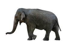Elephant with clipping path. Real elephant isolated on white with clipping mask royalty free stock image
