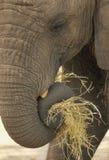 Elephant Close-Up. Close-up of Elephant Eating hay royalty free stock image