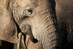 Elephant Close-up Royalty Free Stock Photography