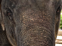 The elephant close up Stock Photography