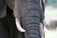Elephant close-up Royalty Free Stock Images