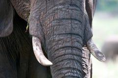 Elephant close-up Royalty Free Stock Images
