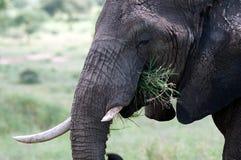 Elephant close-up Stock Photos