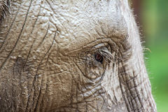 Elephant. Close up of an elephant Stock Images