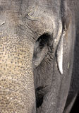Elephant close up Royalty Free Stock Photo