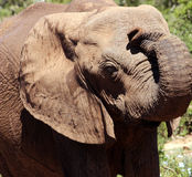 Elephant close up Stock Image