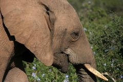 Elephant close up. Close up of african male elephant stock photos