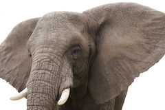 Elephant. Close up of an African elephant isolated on a white background Stock Photo