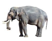 Elephant close up. Big grey walking elephant isolated on white background. Standing elephant full length close up. royalty free stock photos