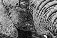 Elephant Close Up. Black and white of elephant face, eyelashes, whiskers, tusk and ear stock images