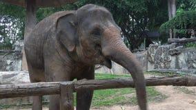 Elephant close-up. Chiang Mai, Thailand. Elephant close up. Chiang Mai, Thailand stock footage