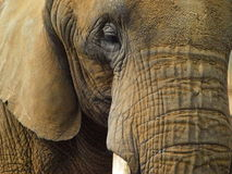 Elephant - Close Up Stock Photos
