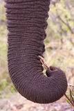 Elephant. Close up image of an African elephant trunk Stock Photo