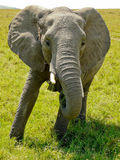 Elephant close up Royalty Free Stock Photos