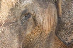 Elephant Close Up. Close-up photo of elephant eye and ear Royalty Free Stock Photography