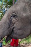 Elephant, close up. Elephant portrait, close up macro closeup animal eye wildlife nature black white background face large detail natural close-up head safari royalty free stock images