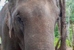 Elephant, close up. Elephant portrait, close up macro closeup animal eye wildlife nature black white background face large detail natural close-up head safari stock photography