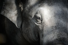 Elephant. Close-up portrait of an elephant stock photography