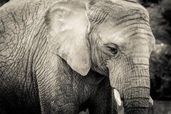 Elephant close-up with sad expression. The head of an elephant close-up. Vintage, grunge old style photo. royalty free stock photo