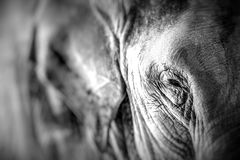 Elephant close up seeing skin texture and spots Royalty Free Stock Photography