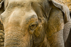 Elephant close up seeing skin texture and spots Royalty Free Stock Photos